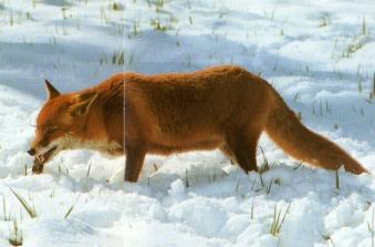 Renard roux en chasse