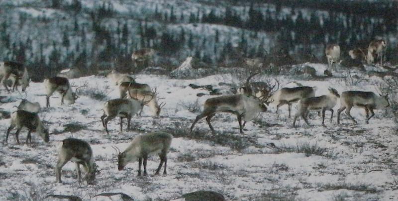 Troupeau de rennes, neige