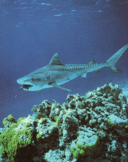 Requin tigre avalant poisson