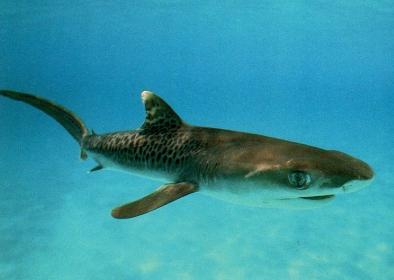 Requin tigre, jeune