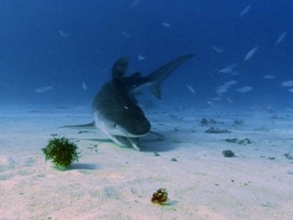 Requin tigre entouré de poisson, mange