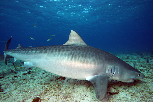 requin-tigre4