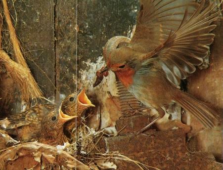 Rouge gorge au nid, nourrit oisillons