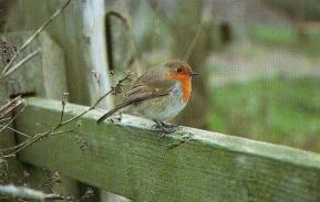 Rouge-gorge perché sur barrière en bois