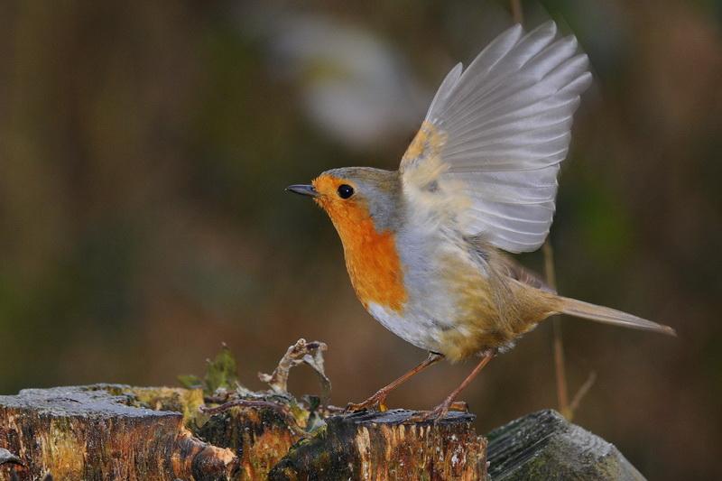Rouge-gorge posé sur souche, ailes ouvertes