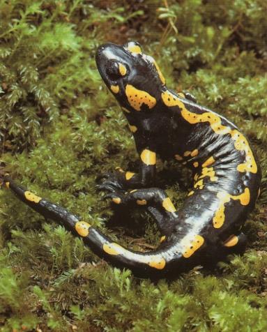 Salamandre tachetée couleur commune, noire à taches jaunes.