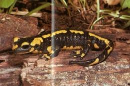 Salamandre tachetée noire à bandes jaune
