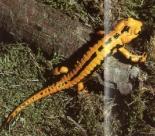 Salamandre tachetée jaune à bandes noire
