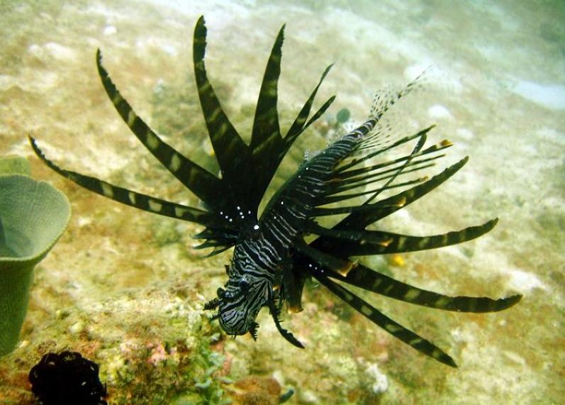 Scorpène volante, fond marin, couleur noire.