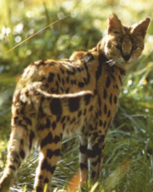 Serval posté dans les herbes hautes, tête tourné vers l'arrière.