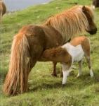 Ponette Shetlandais et poulain