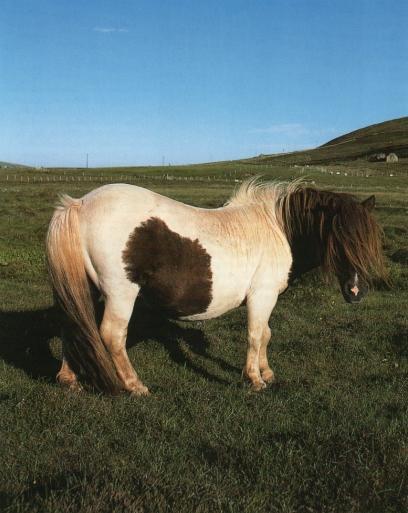 Shetlandais1