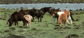 Harde poneys Shetlandais1
