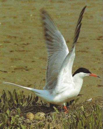 Sterne pierregarin debout sur le sable, ailes déployées