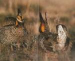 Deux tétras des prairies mâles en parade