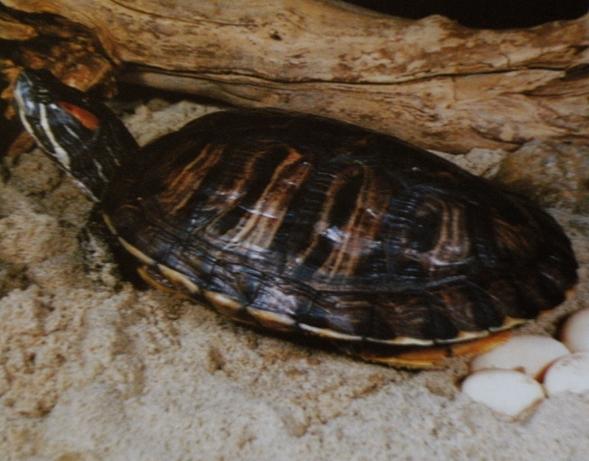 oeufs des tortues