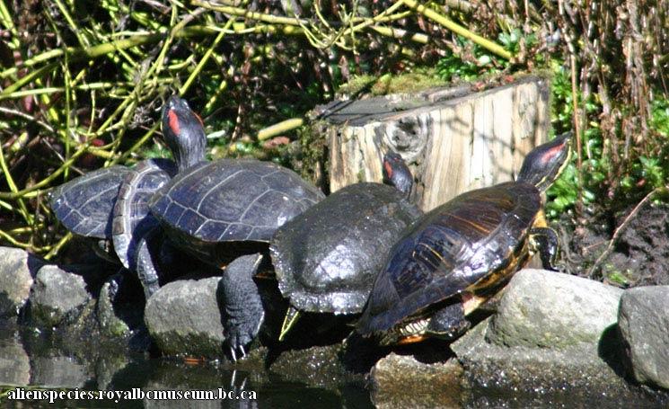 Groupe de tortues à tempes à rouges exposé au soleil