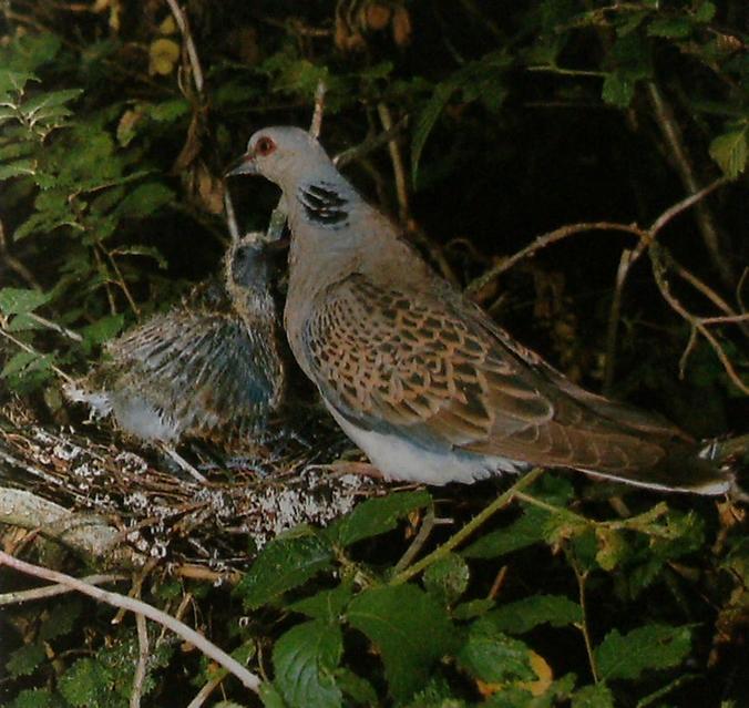 Tourterelle et jeune au nid