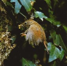 Troglodyte mignon volant verticalement, insectes dans bec