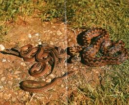Vipère péliade femelle et ses jeunes