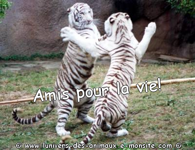 Carte 2 tigres blancs1