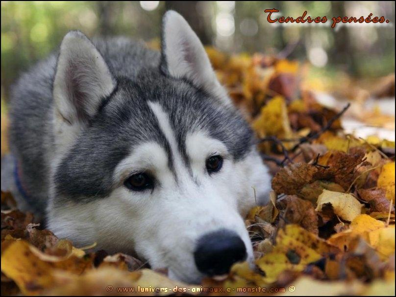 Carte Husky automne1